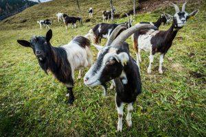 Azienda agricola biologica capre Val di Fassa