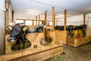 Azienda agricola biologica mucche in Val di Fassa
