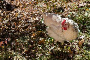 Azienda agricola galline e uova biologiche