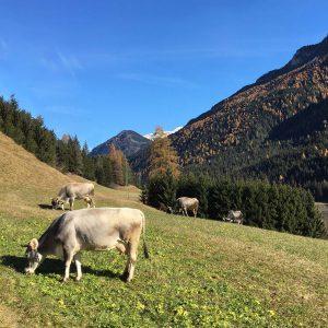 Mucche al pascolo sopra l'agritur biologico Ciasa dò Parè in Val di Fassa