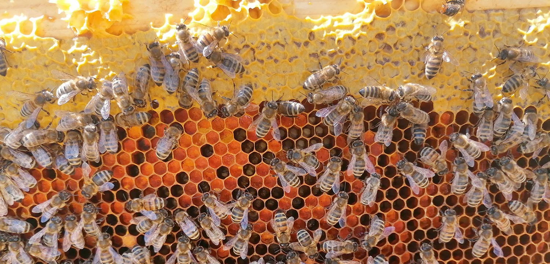 sciame di api