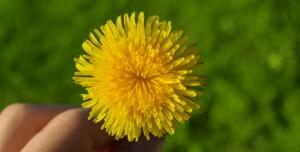 fiore-tarassaco