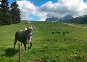 vacca grigio alpina al pascolo